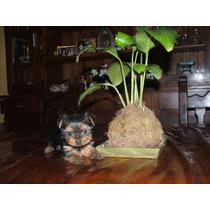 Yorkshire Terrier Hembras ,los Mas Minis Del Mercado $ 8999