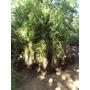 Ligustrina, Lote X 10 Plantas - 1.80 Mts No Son Varitas!!!