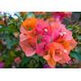 Planta Santa Rita 4l Trepadora Ya En Desarrollo V/colores