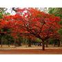 10 Semillas De Árbol De Fuego - Chivato - Flamboyan