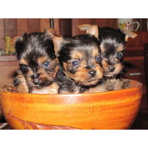Yorkshire Terrier, Hembras Muy Pequeñas!
