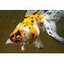 Goldfish Calico Chico!! Surtido Elegi Mundo Acuatico