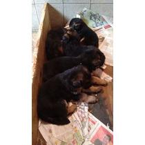 Cachorros De Ovejeros Aleman
