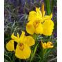 Lirio Amarillo Para Estanques O Parques Palustre