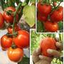 Combo Hidroponia Comercial Cultivos De Tomates 25 Plantas