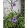 Arbusto Flores Lila ,ruellia, Atrae Mariposas Y Colibries