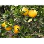 Naranjo Dulce De Ombligo Injertado 1,20 M/injertado