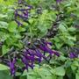 Salvia Bonaerensis - Salvia Guaranítica - Salvia Bonariensis