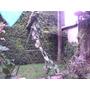 Arbolito De Gomero - Ficus Elástica