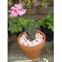 Cactus Y Crasas Maceta Terracota Nro 12 Plantas De Interior