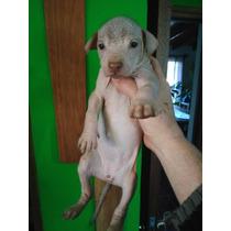 Cachorros Xoloitzcuintles