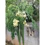 Moringa Oleifera Semillas Frescas Seleccionadas Para Plantar