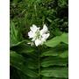 Caña De Ambar. Sultana. Hedychium Un (1) Rizoma