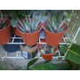 Parras -cactus -plantas De Interior Cantidades