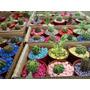 Suculentas/cactus Para Souvenirs.$19.90 En San Martin!!