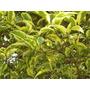 Árbol Vereda, Ligustro Disciplinado Grosor 6 A 8 Cm Perim 2