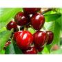 Guindos Y Cerezos - Árboles De Primera Calidad - Cañuelas