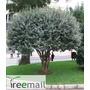 Feijoa - Falso Guayabo - Arbol Frutal 1.20m -1.50m