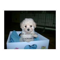 Caniche Mini***micro Machoss