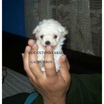 Caniche Mini***micro Machos