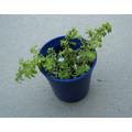 Mini Plantas Helecho De Arroz Miniatura 2x$40 Ideal Regalo