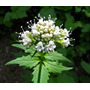 100 Semillas Valeriana Officinalis