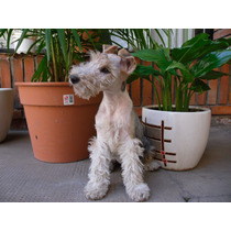 Fox Terrier Wire Busca Novia
