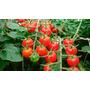 40 Semillas De Cherry Globo