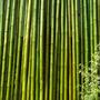 Cañas De Bambu Tacuara 15 Unidades 2/3 Cm X 3,50 Mts Largo