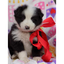 Border Collies,criadero Auco, Cachorros Disponibles-
