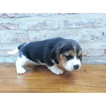 Cachorros Disponibles De Beagles Con Papeles De Fca