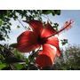 Planta Rosa China Hibiscus
