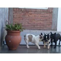 Hermoso Bulldog Frances, Stud Monta: Criadero Alexluper