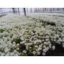 Plantines De Alisium X 28 Unidades Flor Todo El Año
