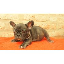 Cachorros Bulldog Francés Con Papeles De Fca