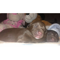 Cachorros De Labrador Color Chocolate Muy Hermosos