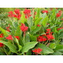 Canna Indica (achira ) Flor Doble Roja Herbácea