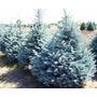 Semillas De Pino Azul Picea Pungens Glauca Árbol Bonsai