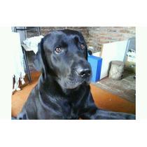 Cachorros Labrador Exelentes