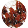 Cucarachas Mini Runner X 50 - Ideal Geckos, Erizos Y Aves