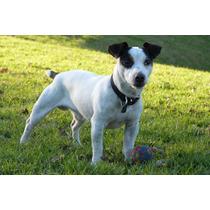 Servicio Perro Jack Russel Terrier Macho