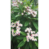 Flor Hawaiana Plumeria O Jazmin Magno