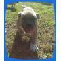 American Staffordshire Cachorro Fawn Macho Entrega Inmediata