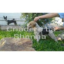 Fox Terrier Wire Criadero La Shanna Con Pedigree F.c.a.