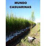 Casuarinas 1,60m En Macetas 1,5 Lts Mundo Casuarinas