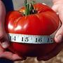 Tomate Gigante Del Guinness Semillas Record Mundial: 3,2 Kg