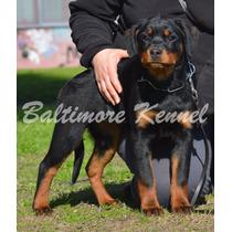 Excelentes Cachorros Rottweiler Fca , Mejor Criadero 2015!