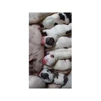 Cachorras Bulldog Frances Vaquitas Con Fca