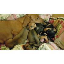 Dachshunds Salchichas Miniatura Cachorros