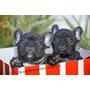 Bulldog Frances Exelente Cachorros!! Fca Y Libreta